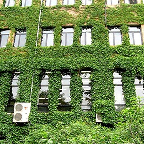 Star Supermarket 40 stücke efeu samen Creeper Seeds Green Anti-Strahlung ultravioletter Strahl Bonsai Pflanzen Kletterpflanzen für Haus und Garten