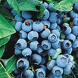 #10: Organic Highbush Blueberry Seeds
