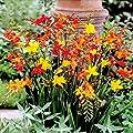 Montbretien Mischung von Meingartenshop auf Du und dein Garten