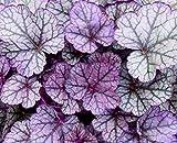 """Heuchera - Purpurglöckchen """"Sugar Frosting"""" - in Gärtnerqualität von Blumen"""