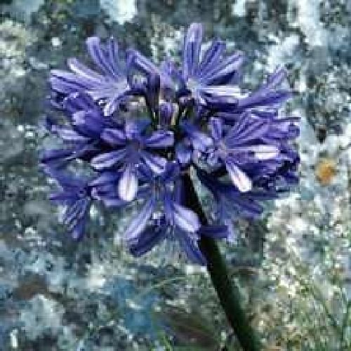 Agapanthus africanus, love flower, BLUE, 10 graines