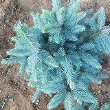Bluelover 30Pcs Colorado Blue Spruce Tree Semillas Picea Pungens Abeto De Planta