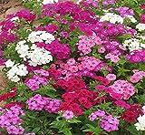Farmerly Annual Phlox Mix 100 Seeds Phlox Drummondii Easy Grow Garden Combsh I36