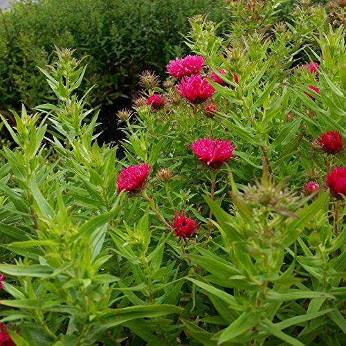 Herbstblüher ' Rosensilber