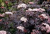 Portal Cool Sambucus Black Lace In 2L Topf Cut Blatt Holunder