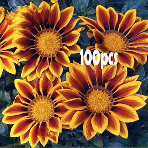 semi di crisantemi coperta semi di piante bonsai fiori semi di piante perenni bonsai perenne semi di crisantemo bonsai sementi