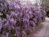 Tree Seeds online-Glicina Sinensis (Blu) cinese 2grandi Sementi, Lot de 5