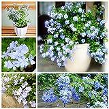Pinkdose Ceratostigma plumbaginoides bonsai 100 pz plumbago auriculata bonsai rare esotiche bonsai fiori perenni casa giardino pianta