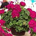 SOTEER Blumensamen 50-10 PC/Pack Pelargonium Doppel Geranie Samen, Pelargonium-Zonale-Hybride Samen grandiflorum Hybriden von SOTEER - Du und dein Garten