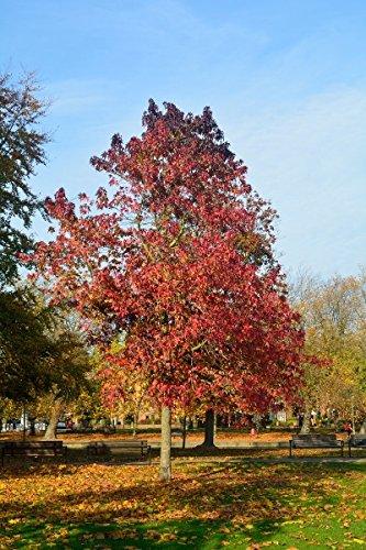 Amberbaum im Kleincontainer Größe 30 bis 50 cm