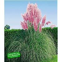 BALDUR-Garten Rosa Pampasgras, 1 Pflanze Cortaderia Ziergras