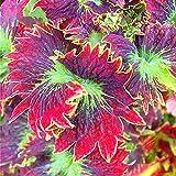 KINGDUO Egrow 100Pcs/Pack Coleus Samen Rainbow Dragon Seeds Garden Japanese Laub Pflanzen-1