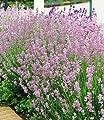 BALDUR-Garten Duft-Lavendel 'Rosa', 3 Pflanzen Lavandula angustifolia von Baldur-Garten auf Du und dein Garten