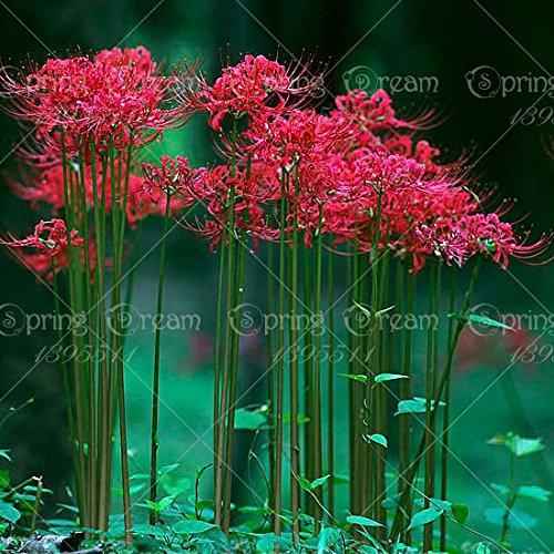 Certes Lycoris Radiata Ampoules, Bana Ampoules, (pas de graines), plantes en pot plantation Saisons intérieur bonsaï pour jardin-2 maison bulbes 15
