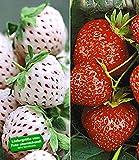 BALDUR-Garten Erdbeeren-Raritäten-Kollektion 'Sengana Selektion &'Natural White', 9 Pflanzen Fragaria für BALDUR-Garten Erdbeeren-Raritäten-Kollektion 'Sengana Selektion &'Natural White', 9 Pflanzen Fragaria