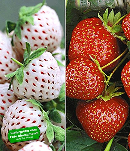 erdbeerpflanzen senga sengana BALDUR-Garten Erdbeeren-Raritäten-Kollektion 'Sengana Selektion &'Natural White', 9 Pflanzen Fragaria