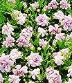 BALDUR-Garten Gefüllter winterharter Bodendecker Calystegia Flore Pleno, 4 Knollen von Baldur-Garten - Du und dein Garten
