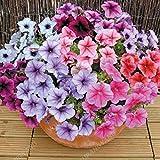 200pcs Colores Petunia Petunia Encanto Semillas de semillas en maceta de Bonsai Balcón Flor Para el hogar Jardín de Plantas cuatro estaciones pueden ser de origen vegetal Gris oscuro