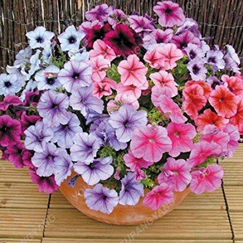 200 pcs / sac Petunia Graines Bonsaï Graines de fleurs Court Taille Jardin Fleurs Graines d'intérieur ou extérieur Plante en pot Livraison gratuite gris foncé