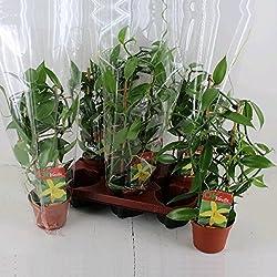 Vanilla planifolia - Kletterorchidee - Echte Vanille Pflanze am Spalier 11cm Topf