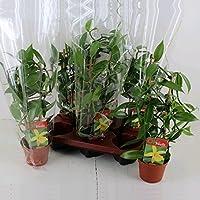Echte Vanille Pflanze am Spalier, Vanilla planifolia - Kletterorchidee im 11cm Topf