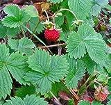 Frische 10000 Samen - Erdbeere Vesca Baron Bodendecker Seed