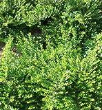 50 Stecklinge Heckenkirsche, Bodendecker, Garten