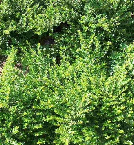 150 Stecklinge Heckenkirsche, Bodendecker, Garten