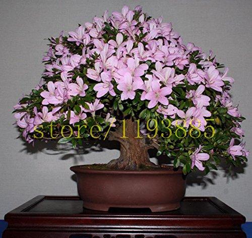 20pcs-bag-semi-azalee-giapponesi-rododendri-azalee-semi-di-semi-di-fiori-dellalbero-della-copertura-
