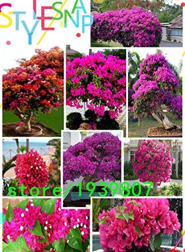 40-pc-lotto-semi-giardino-bonsai-albero-pino-bianco-podo-carpo-semi-semi-di-arbusti-sempreverdi-dell