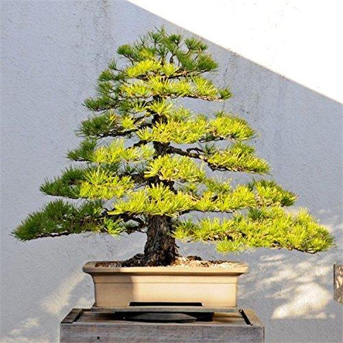 Giapponese Pino Nero 20 semi sempreverdi bonsai Pinus thunbergii albero ornamentale