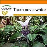 SAFLAX - Garden in the Bag - Nepalesische Riesen - Fledermausblume - 10 Samen - Tacca nevia white