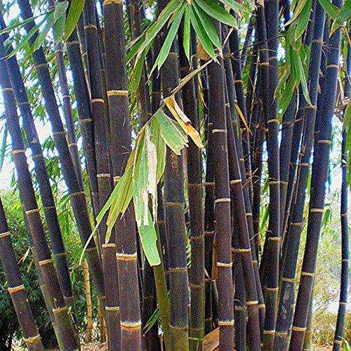 Graines bambou achat vente de graines pas cher - Tuteur bambou gros diametre ...