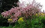 Frühlingstamariske Kleinblütige Tamariske Tamarix parviflora Containerware 60-100 cm