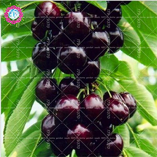 10 pcs / sac graines de cerise mini-tree Black Cherry graines de fruits bio graines d'arbres bonsaï pot alimentaire super doux pour le jardin de la maison 2