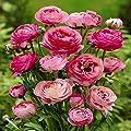 Ranunkel rosa von Meingartenshop - Du und dein Garten