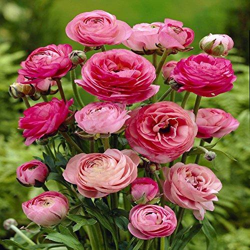 Ranunkel rosa - 60 blumenzwiebeln