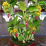 #3: M-Tech Gardens Indoor Dwarf Mini Banana Fruit Seed for Growing 25 Seeds/Bag