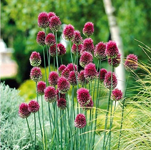Qulista Samenhaus - 10/20pcs Rarität Allium 'sphaerocephalon' Bienenliebling Kugelköpfiger Lauch Blumensamen winterhart mehrjährig
