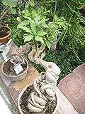 Cussonia spicata - arbre de chou - 10 graines
