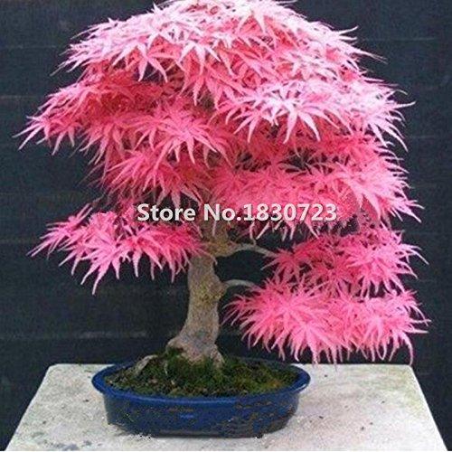 Galleria fotografica Vendita caldi Rare Rosso acero Semi di bonsai piante di giardino domestiche di fai da te 20 semi