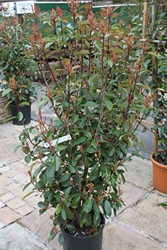 photinia-fraseri-red-robin-bush-large-plants-15m-tall