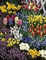 Sortiment 17 - 280 Zwiebel von Dominik Gartenparadies auf Du und dein Garten