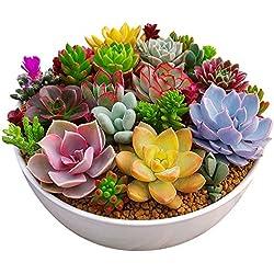 Rosepoem 100 teil / paket Multi Sukkulenten Samen Zierpflanzen Samen Hof Garten Mit Blumensamen