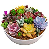 Rosepoem 100 unid / paquete multi plantas suculentas semillas plantas ornamentales semillas...