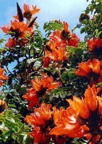 TROPICA - Afrikanischer Tulpenbaum (Spathodea campanulata) - 30 Samen