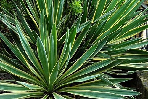 Portal Cool Yucca gloriosa Variegata 15 Samen