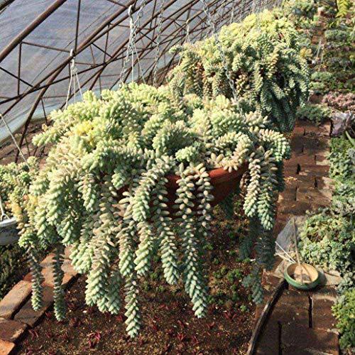 lamta1k 100Pcs Sedum Burrito Moran Samen Garten-Yard-Sukkulente Dach Balkon Dekor - Sedum Burrito Moran Seeds