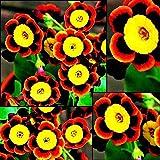 AIMADO Samen-Rarität 100 Stück Prunkwinde Samen 3 Farbe Frühlingsblume Kletterpflanzen Blumensamen mehrjährig winterhart,Dekorative Schlingpflanze geeignet für Zäune & Spaliere