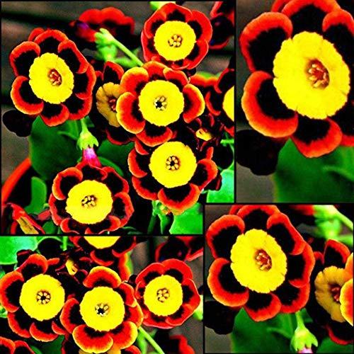 AIMADO Samen-Rarität 100 Stück Prunkwinde Samen 3